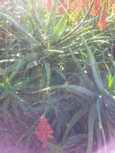 golden-orb-spider-web-kirstenbosch