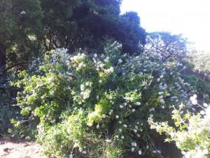 wild-gardenia-kirstenbosch-centarium