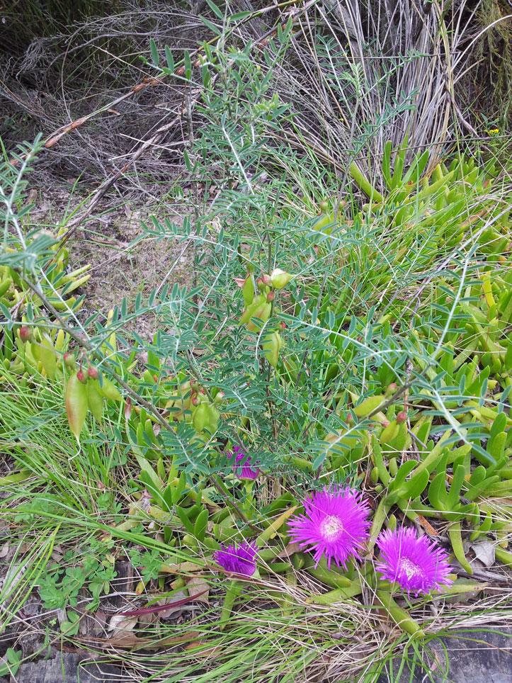 September-fynbos-cancer-bush